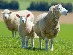 Sheep that graze on certain types of saltbush are healthier than sheep that eat other food.