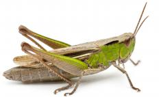 Crickets are closely related to the grasshopper.