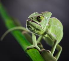 A veiled chameleon has a life span of around five to eight years.