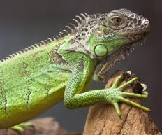 It is important to equip any iguana enclosure with a variety of climbing materials.