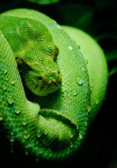 Green tree pythons live in rainforests.