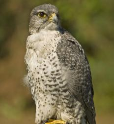 Volunteers may work to conserve the natural habitats of area wildlife, such as hawks.