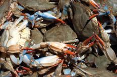 Maryland's state crustacean is the blue crab.