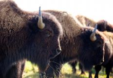 The Crow people traditionally hunted bison.