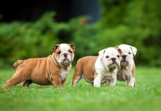 The American Staffordshire's ancestors include the bulldog.
