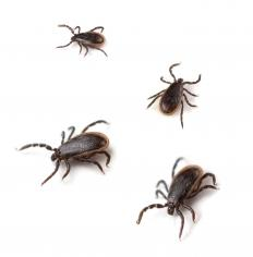 Lyme disease, which is transmitted by deer tick bites, may cause pain in the arms and legs.