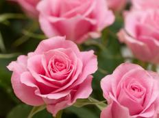 Deadheading roses results in stronger, better-looking blooms.