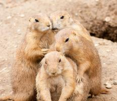 Prairie dogs, a type of ground squirrel, can recognize family members by scent.