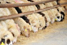 Sheep farms may need grain or hay to supplement the animals' diet.