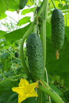 Cucumbers, and a cucumber flower, on the vine.