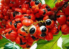 Guarana berries have a higher concentration of caffeine than coffee beans.
