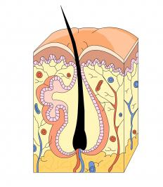 Massaging hair follicles can lead to increased growth.