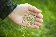 Green grass seed is used when planting lawns.
