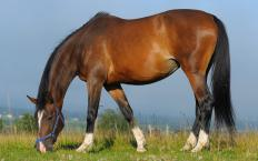 German Warmblood horses must pass various physical and temperament tests before they are approved for breeding.