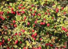 Hawthorn fruits are often mistaken for berries.