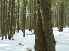 Hemlock mulch is made from the bark and outer rind of the hemlock tree.