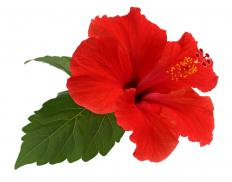 The hibiscus is a flowering plant that comes in many different colors.