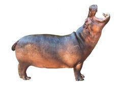 A pygmy hippopotamus is smaller than the common hippo.