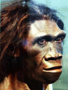"Homo erectus, ""upright man,"" is the closest ancestor to Homo sapiens and possibly descended from Homo habilis."