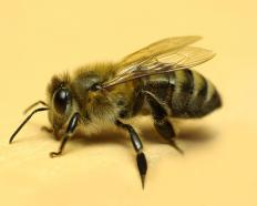 A honeybee, which will sting in defense of the nest.