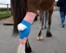 Liniments can be applied to a horse that has sore legs.
