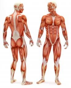 Contractile tissue is used in muscles.