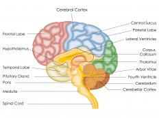 Mammillary bodies are linked to the hypothalamus and are important in memory processing.
