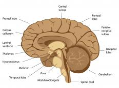 Diagram of the human brain showing the mesencephalon, or midbrain.