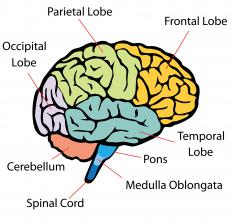 The brain's frontal lobe is connected to its parietal and temporal lobes by the arcuate fasciculus.
