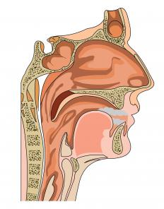 A cross section of the head, including the sinuses.