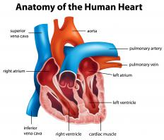 The left and right atria are the upper chambers of the heart, while the left and right ventricles are at the bottom of the heart.