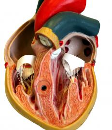 The ventricles at the base of the heart are divided by the interventricular septum.