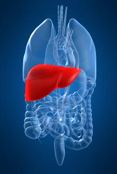 The human liver is a concentration of 20 collections of blood vessel branches.
