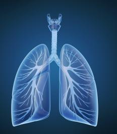 Human lungs are located inside the chest next to the rest of the organs.