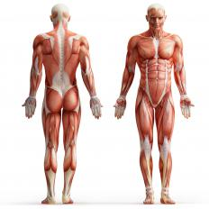 An illustration of the human muscular system.