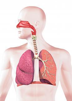 A human respiratory system.