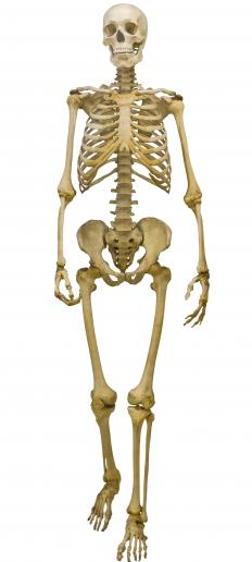 The most common type of human skeletal diagram depicts a skeleton standing straight up and facing forward.