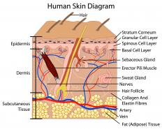 A diagram of the human skin, including sweat glands.