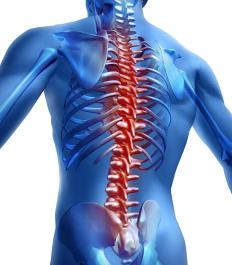 The longissiums is one muscle situated directly alongside the spine and act to extend the vertebral column.