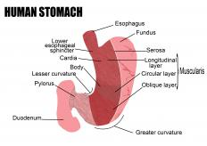 The cardiac sphincter is a valve between the bottom of the esophagus and stomach.