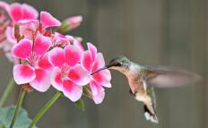 Hummingbirds flap their wings at a rate of 80 times per second, and as fast as 200 time per second during courtship.