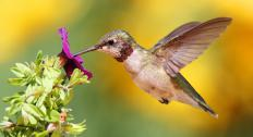 There are 328 species of hummingbirds.