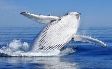 Discovering the patterns and attributes of humpback whale song earned a zoologist a genius grant.