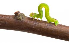 Inch worms are actually caterpillars.