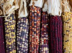 Heirloom vegetables, like this Indian corn, are known for their unique flavor.