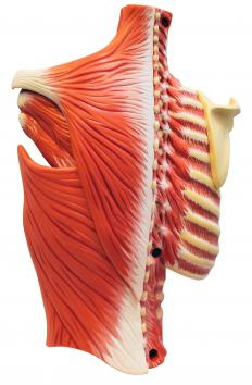 The intercostal muscles, which surround the ribs, are breathing muscles.