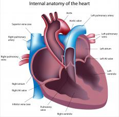 The right atrium is one of four chambers in a person's heart.