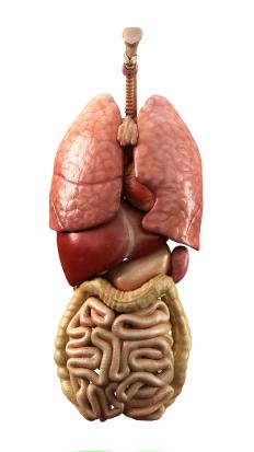 Internal organs, including the spleen, which is located to the left of the stomach.