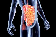 Intestines play a large part in digestion.