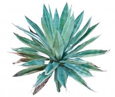 Succulent gardens contain plants that store water easily, like agave.
